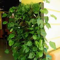 №143 Вот такой замечательный подарок в кафе ЛЕТО.Фитостена из 65 растений.Размеры.Ширина 1м,высота 2м.